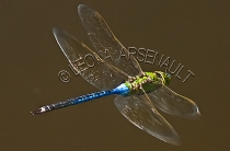BLUE_DRAGONFLY;INVERTEBRATE;INSECT;HORIZONTAL