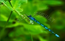 BLUE_DAMSELFLY;INVERTEBRATE;INSECT;HORIZONTAL