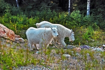 MAMMALS;LAND_MAMMALS;MOUNTAIN_GOATS;MOTHERS;BABIES;KIDS;HORIZONTAL