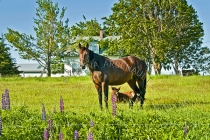 HORSES;MARES;COLTS;THOROUGHBRED;HERBIVOROUS;MAMMALS;LAND_MAMMALS;HORIZONTAL