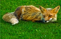 RED_FOX;FOX;ANIMAL;MAMMAL;WILDLIFE;CARNIVORE;VULPES;ADULT;VIXEN;LAND_MAMMAL;