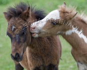 MAMMALS;LAND_MAMMALS;HORSES;COLTS;MINIATURE_HORSES;HORIZONTAL