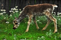CARIBOU;BABY;ANIMAL;MAMMAL;LAND_MAMMAL;CALF