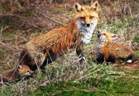 RED_FOXES;FOXES;ANIMALS;WILDLIFE;MAMMALS;CARNIVORE;VULPES;VIXEN;ADULT;MOTHER;CUB