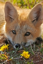 RED_FOX;FOX;ANIMAL;MAMMAL;WILDLIFE;CARNIVORE;VULPES;KIT;CUB;BABY;PUP;LAND_MAMMAL