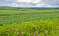 CANADA;PRINCE_EDWARD_ISLAND;QUEENS_COUNTY;POTATO_FIELDS;CROPS;PASTURES;AGRICULTU