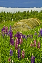 CANADA;PRINCE_EDWARD_ISLAND;PRINCE_COUNTY;ABRAM_VILLAGE;LUPINS;FLOWERS;HAY_BALES